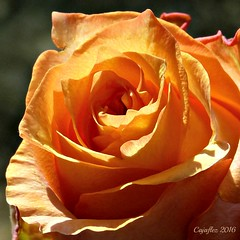Have a nice weekend everybody. (Cajaflez) Tags: rose roos oranje orange daphneschippers bloem fleur ngc npc coth5