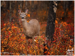 Whitetail Deer in Fall Colours (Moe Ali Photography) Tags: autumn trees orange color fall yellow forest outdoor wildlife shy deer telephoto alberta wilderness hunt whitetail canon7dmarkii canon100400ii moealiphotography