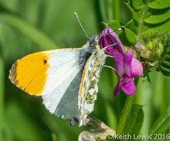 An Orange Tip (keithhull( Off for a few days)) Tags: orangetip butterfly macro northcavewetlands england explore