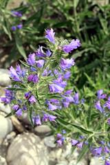 Buglossoides purpurocaerulea (Strocchi) Tags: flowers blue wild plant canon blu violet tamron fiore viola pianta selvatico 1750mm buglossoidespurpurocaerulea eos7d