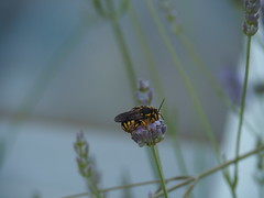 the rest after work (simonedanielis) Tags: flower nature relax natura bee riposo ape fiore calma boken sfocato allaperto