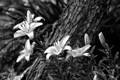 Asiatic Lily 7 (LongInt57) Tags: bw white canada black flower tree nature monochrome garden grey petals lily bc blossom okanagan gray stamens pistil lilies bloom kelowna pollen stigma asiatic