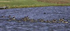 Geese herding (beaucon) Tags: dog outdoors geese lab labrador chocolate maryland canadian coco baltimorecounty herding
