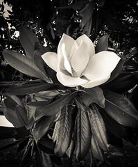Magnolia (photo.po) Tags: flowers portrait blackandwhite monochrome magnolia magnoliatree iphone iphonephotography iphone6