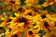 golden summer (gwuphd) Tags: flower macro gold nikon bokeh bee f45 rudbeckia micronikkor 70180mm