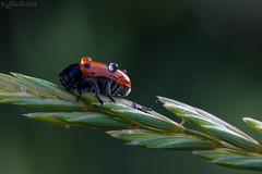 Gocce di rugiada ((Raffaella@)) Tags: dew ladybug rugiada