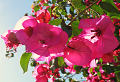 Pink Bougainvillea! ('cosmicgirl1960' NEW CANON CAMERA) Tags: travel flowers green nature gardens spain holidays parks bougainvillea espana costadelsol andalusia marbella yabbadabbadoo worldflowers