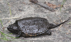 Snapping Turtle at Kittatinny (Tombo Pixels) Tags: newjersey snapping turtle nj snappingturtle twb1 kittatinnyvalleystatepark kvsp naturewalk2016 kittatinny160117