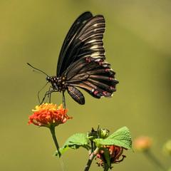 Gold Rim Swallowtail (gecko47) Tags: macro butterfly insect costarica lepidoptera puntarenas centralamerica papilionidae battuspolydamas polydamasswallowtail goldrimswallowtail ventralview cerrolodge