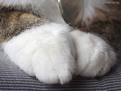 Spotless white gloves - Happy Caturday (Finn Frode (DK)) Tags: pet cats white animal cat garden denmark outdoor olympus gloves paws mixedbreed spotless bastian happycaturday omdem5