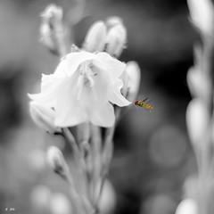 Butinage (Stphane Slo) Tags: bw france nature noiretblanc pentax rhne desaturation printemps insecte guepe rhnealpes fleursetplantes pentaxk3ii
