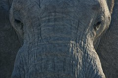 Close Up (alisdair jones) Tags: africa park portrait elephant face namibia etosha ef70200mmf28lisusm2xiii