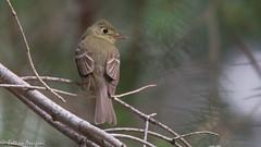 Cordilleran Flycatcher   Rustler   Chiricahuas   Portal   AZ   2016-06-06at09-16-382.jpg (HarmonyonPlanetEarth) Tags: nature birds slideshow addtags rawhideprocessed