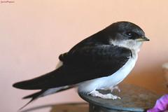 The swallow Venerdì (GiuliaBi95) Tags: pet baby bird nature birds animals swallow fortunato uccello maremma volatile rondine uccellino migratori