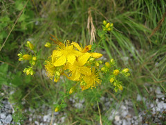 Unterwegs an der Limmat (Priska B.) Tags: wasser pflanzen wiese blumen zrich fluss limmat johanniskraut kanton dietikon