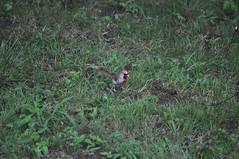 Bilateral Gynandromorph Cardinal 14 (Gary Storts) Tags: cardinal gynandromorph gynadromorph orninthology birdwatching birds cardinalis northerncardinal cardinaliscardinalis
