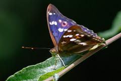_F0A3522.jpg (Kico Lopez) Tags: rio spain galicia mariposas lugo mio apaturailia tornasolada