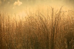 cold and frosty morning (peet-astn) Tags: golden light grass winter frost mist misty abigfave