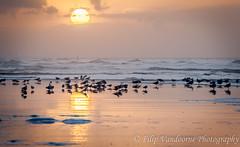 going to sleep in the setting sun (filipmije) Tags: sunset sea sun beach birds coast sand shore northsea
