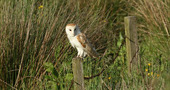 Barn Owl-----In Explore  02-07-2016 (Ron Vipond) Tags:
