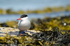 Common tern (Sterna hirundo) (boamatthew) Tags: uk bird nature nikon wildlife tamron seabird wildlifetrust rspb cemlynbay commonturn d7000 150600mm