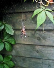 #spider #spiderweb #spiders #nature #insects #araa #teladearaa #naturaleza #insectos #picoftheday #fotodeldia (lunatica_89) Tags: naturaleza insectos nature spider spiders spiderweb insects araa picoftheday teladearaa fotodeldia