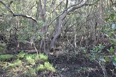 SOP-040716-008 (alison.klein) Tags: wetlands mangroves sydneyolympicpark