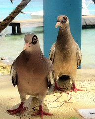 Annoying Zorro Couple (CosmoClick) Tags: bird pigeon dove curacao vogel duif cosmoclicky