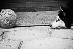 Euro 2016 (danielfagan) Tags: blackandwhite dog white black cute sport contrast ball puppy football goal eyes wolf soccer siberianhusky loki sleddog euros snowdog eyeontheball eskimodog nordicdog euro2016 littledoglaughedstories littledoglaughednoiret