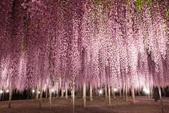 Wisteria in the night (jutoart) Tags: flower wisteria