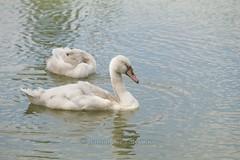 Natur pur (Baumi der Fotomann) Tags: fun tiere wasser jung sommer natur schlafen vgel ente schwan schwne ruhe ausruhen komoran