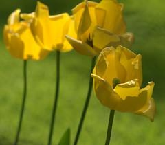 four yellow tulips (b.schrade@yahoo.de) Tags: flowers 2 plant fleurs spring tulips gardening blossoms lawn blte lenz frhling tulpen floers brs tulipan blhen lipps bschrade