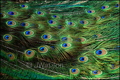 Peacock - Argus Eyes (VenturaMermaid) Tags: bird train eyes tail feathers peacock animalplanet greekmythology juno argus peacockfeathers peacockeyes peacocktail 100eyes arguseyes peacocktrain heraswatchman