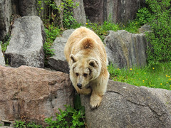 Brown Bear (MarkusR.) Tags: bear animal germany zoo stuttgart predator botanicalgarden tier br braunbr brownbear wilhelma ursusarctos badenwrttemberg badenwuerttemberg zoologicalgarden 2013 raubtier markusrieder mrieder 20130502np5019