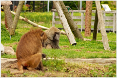 Nature: city monkeys (3) (H. Bos) Tags: nature monkey spring natuur lente flevoland aap almere kemphaan stichtingaap waterlandseweg stadslandgoeddekemphaan schermalmere almerescherm biepbeeb