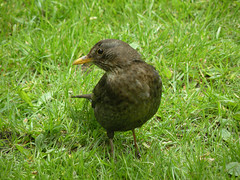 Female Blackbird (BIKEPILOT) Tags: bird nature animal female canal wildlife berkshire blackbird newbury kennetavoncanal