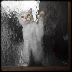 cat-behind-glass (mr.walter144) Tags: white glass cat katze kater glas tomcat weis glasspane