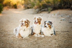 UV7A4097 (Aussies4me_ReenaG) Tags: dogs naturallight wash australianshepherd aussies 52weeksfordogs wwwreenagiolacom trioofaussies