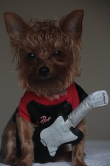 Rock & Roll (karlaspence35) Tags: dog canada yorkie rock stones roll rolling rubin