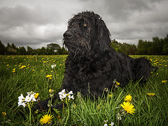 433_3159_11-05-13 (homewurks) Tags: park flowers wild hairy dog pet plant black flower field grass animal john hair fur photography countryside warrington furry cheshire country posing canine down millennium dandelion lie valley mustard brook labradoodle poses hopkins dandelions lay appleton laying lumb poae homewurks