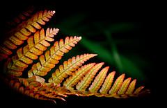 Orange in the Sun.Explored (Omygodtom) Tags: shadow red summer orange fern macro green art leaves bokeh shade tamron90mm d7000