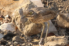 Senegal Thick-knee, Kings Island, Luxor, Egypt (Andy_Hartley) Tags: africa bird nature birds canon wildlife birding egypt sigma 7d senegal luxor kingsisland wader senegalthickknee burhinussenegalensis eos7d canon7d sigma150500