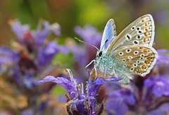 Common Blue (Polyommatus icarus) (Veg_Brush) Tags: blue flower macro male nature animal closeup standing butterfly bug purple adult wildlife lepidoptera icarus common bugle imago lycaenidae polyommatus lepidopteran