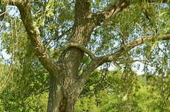 weeping tree (Carly Sabatino) Tags: ri school nature bristol outdoors high mthope
