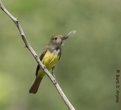 New additions to their nest (Barb D'Arpino Photography) Tags: ontario canada nature outdoors wildlife northamerica wasagabeach greatcrestedflycatcher myiarchuscrinitus naturethroughmyeyescom barbaralynne canon1dx copyrightbarbdarpino barbaralynnedarpino photocontesttnc13 flycatcherwithdragonfly