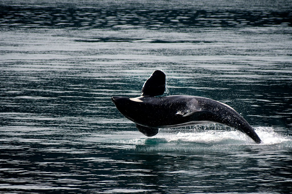 Orca by Kenai Fjords National Park, on Flickr