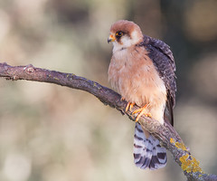 Red-footed Falcon [female]