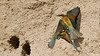 gruccioni (taronik) Tags: natura uccelli animali nidi cacciafotografica gruccioni blinkagain me2youphotographylevel1