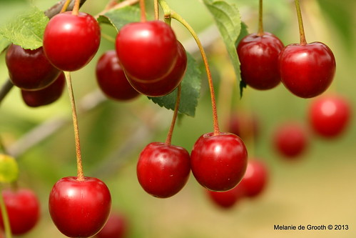 Sumptuous Cherries