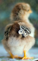 Frizzled MilleFleur with feathered feet (Five Pence Photography) Tags: brown chickens chicken 50mm chicks wyandotte frizzle millefleur elementsorganizer11